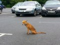 Baby fox in Sainsburys carpark, Bournemouth